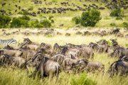 6 days Tanzania safari Wildebeests